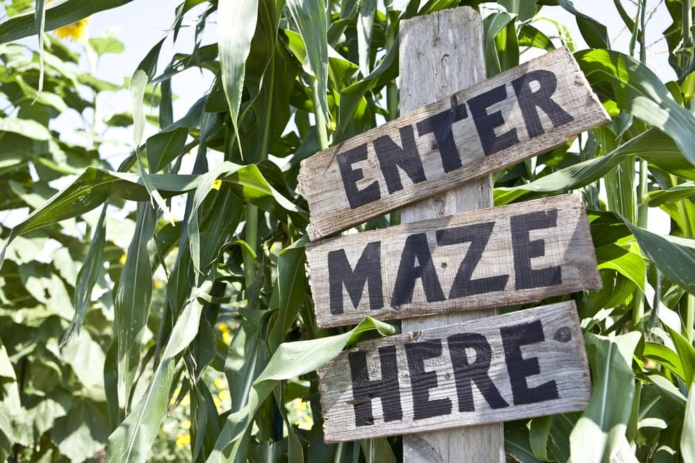 Entering the Corn Maze