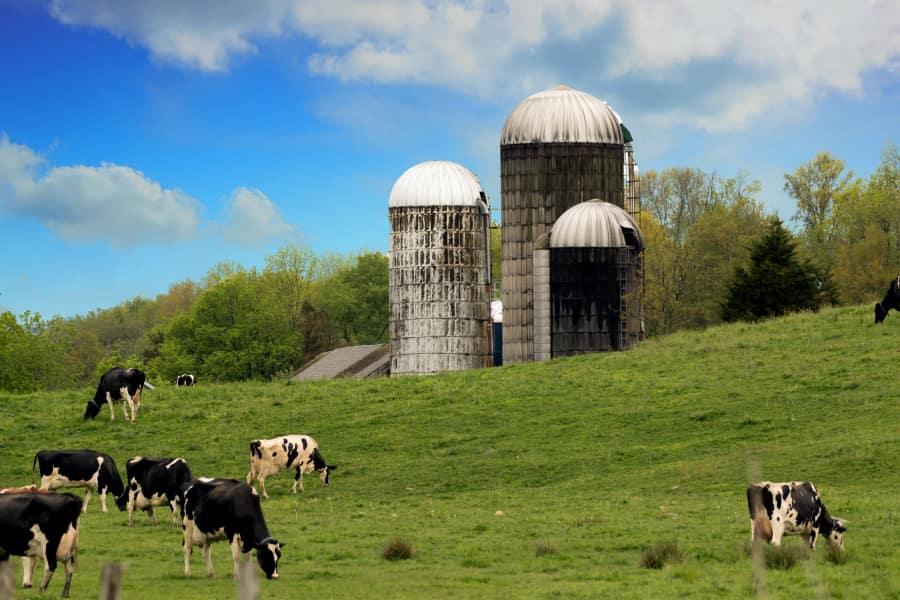 Cows Silos